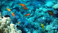 anthias with chromis and damselfish