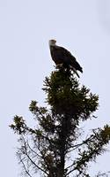 Great Lakes Bald Eagle