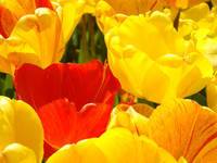Red Yellow Tulip Flowers Colorful art prints