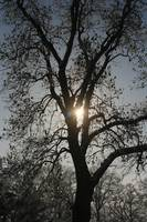 Winter Sun and Tree