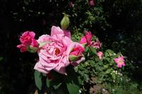 Photo My Pink Rosebush Blooming Abundantly