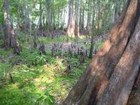 Cypress Trees and Knees