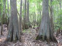 Pair of Cypress Trees