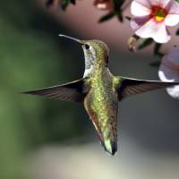 Hummingbird Hovering in Flight by Laura Mountainspring