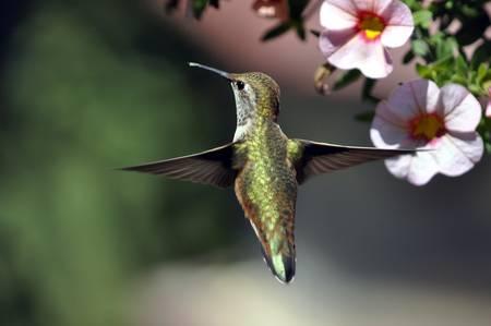Hummingbird Hovering in Flight