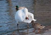 Swan inspecting a mallard from underneath