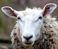 portrait of an arrogant sheep