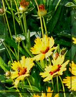 Nature In Coreopsis Flower