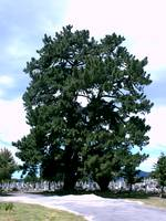 Great Tree - Cemetery
