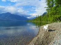 Travel With Beni - West Highland White Terrier