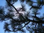 Looking Up Through The Branches
