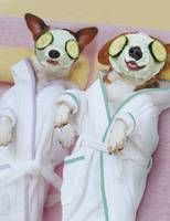 Jack Russell Dogs Getting Spa Treatments