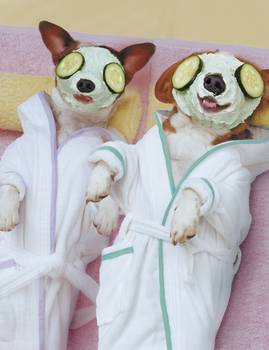 Jack Russell Dogs Getting Spa Treatments By John Lund