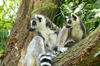 Mother and child lemur in a tree