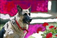 German Shepherd in roses