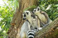 The world is so exciting, lemur photo