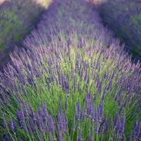 Lavender field Art Prints & Posters by Rick Takagi