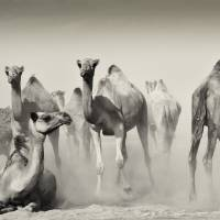 Camel 2 Art Prints & Posters by SaharaPictures