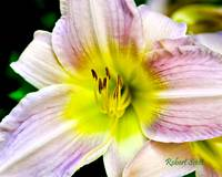 Day Lily from the Garden.