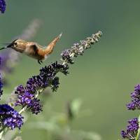 Rufous Hummingbird at Buddleia by Laura Mountainspring