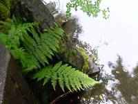 Fern Near A Pond