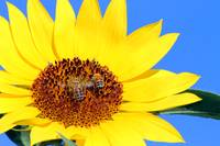 Buzzzy Bees on a Sunflower
