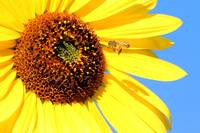 Busy Bee on a Sunflower