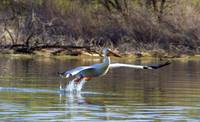 Pelican in Flight 5