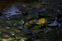 Yellow Lily Pond
