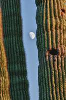 Southwest Saguaro Cactus Close-Up  With Moon Verti