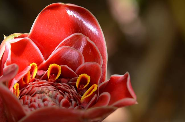 Torch Ginger Macro