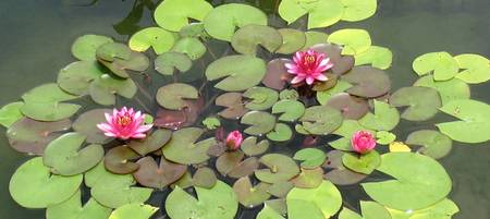 Water Lilies XII
