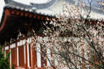 Japanese Plum Tree Blossoming