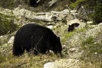black bear in banff