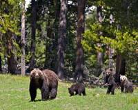 Grizzly Family 399
