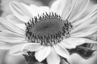 Sunflower Bloom Black and White