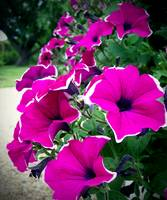 Lovely Petunias