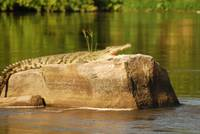 Crocodile in the Nile, Uganda