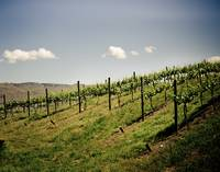 Wine Country Vineyard in the Spring