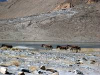 Free roaming herd of wild horses - near India-Chin