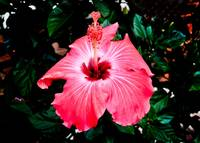 A Very Red - Pink Hibiscus.