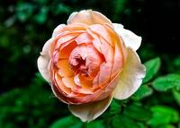 A Peach of A Rose.