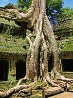 Te Prohm Temple Snake Tree 1