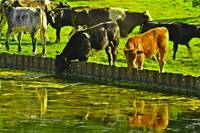 Cows Drinking In Their Reflections