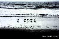 Sandpipers on Torrey Pines Beach2