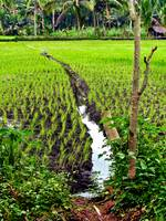 Irrigated Rice
