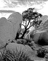 Hideaway Juniper Tree in Joshua Tree N.P.