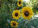 Bees choose best of Sunflowers