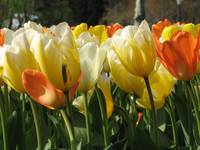 Tulips on a warm sunny day