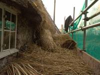 Thatching Whitehall 04